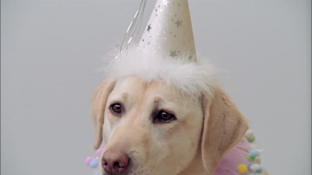 close up zoom out portrait of a yellow labrador retriever wearing party hat and collar - party hat stock videos & royalty-free footage