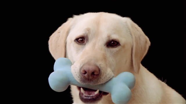 Close up zoom out portrait of yellow labrador retriever holding blue bone in mouth