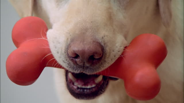 close up zoom out portrait of yellow labrador retriever holding red bone in mouth - tierische nase stock-videos und b-roll-filmmaterial
