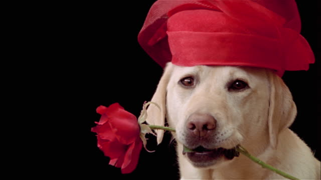 close up zoom out portrait of yellow labrador retriever wearing red dress hat and carrying red rose in mouth - pet clothing stock videos & royalty-free footage