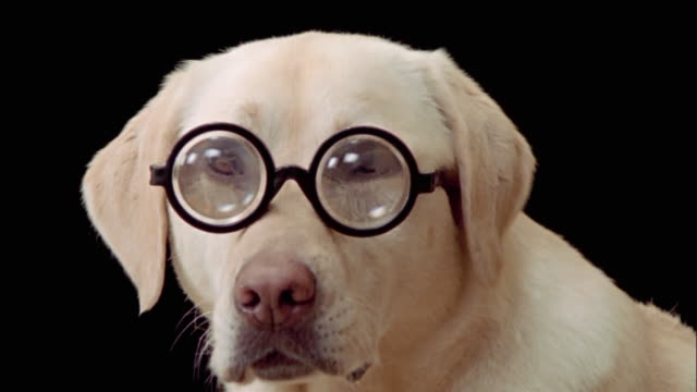 vídeos de stock e filmes b-roll de close up zoom out portrait of yellow labrador retriever wearing thick eyeglasses - lupa