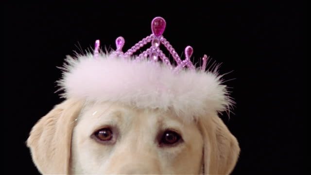 close up zoom out portrait of yellow labrador retriever wearing tiara - pet clothing stock videos & royalty-free footage