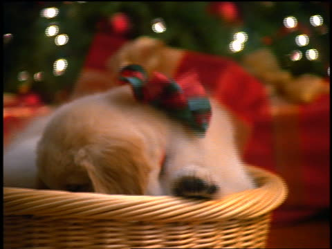 close up zoom out puppy with bow on neck climbing out of basket with bone in mouth / Christmas tree in background