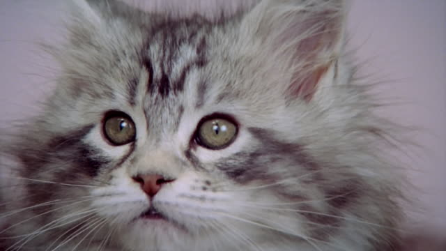 Close up zoom out three Maine Coon kittens sitting in bed/ California