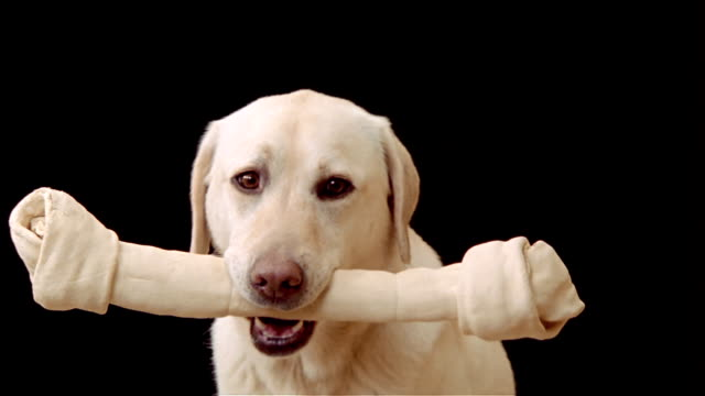 Close up zoom out yellow labrador retriever turning to face camera with large rawhide bone in mouth