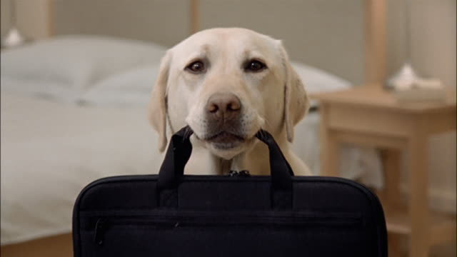 close up zoom out zoom in portrait of a yellow labrador retriever holding portfolio in mouth - tragetasche oder tragebeutel stock-videos und b-roll-filmmaterial