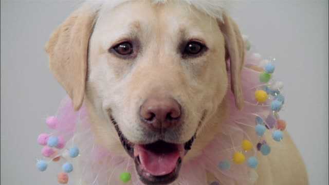 close up zoom out zoom in portrait of a yellow labrador retriever wearing party hat and collar - party hat stock videos & royalty-free footage