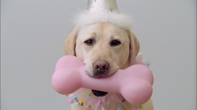 close up zoom out zoom in portrait of a yellow labrador retriever wearing party hat and collar / holding pink bone in mouth - party hat stock videos & royalty-free footage