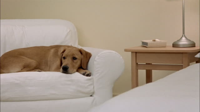 close up zoom out zoom in yellow labrador retriever lying on chair in bedroom - moving towards stock videos & royalty-free footage