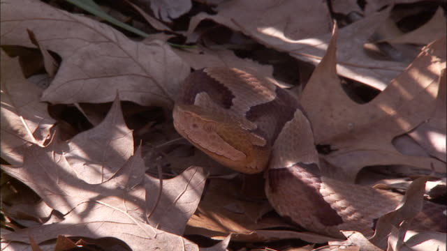 close up zoom out - zoom out from snake camouflaged in pile of dry leaves /  - camouflage stock videos & royalty-free footage