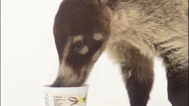 Close Up zoom-in - A coatimundi licks yogurt from a cup.