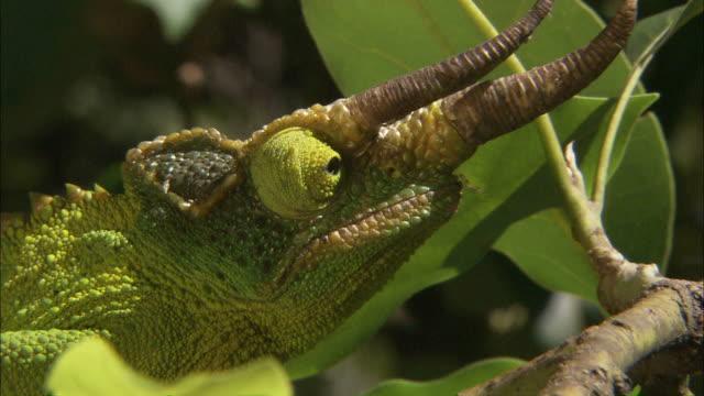vídeos de stock, filmes e b-roll de close up zoom-in - a jackson's chameleon looks around as it balances on a plant / uganda - cornudo