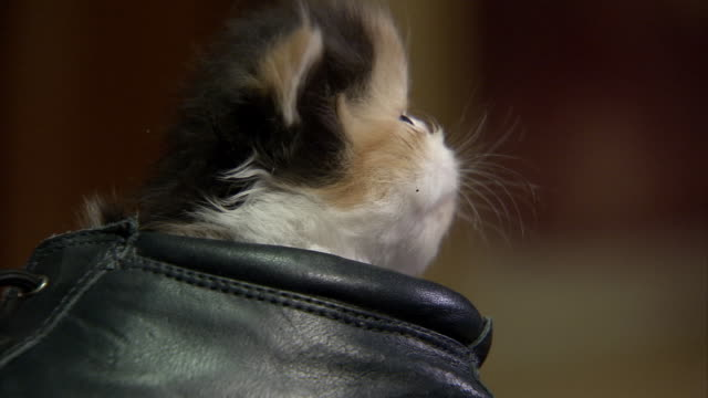Close Up zoom-in - A Persian kitten sits in a boot and looks around.