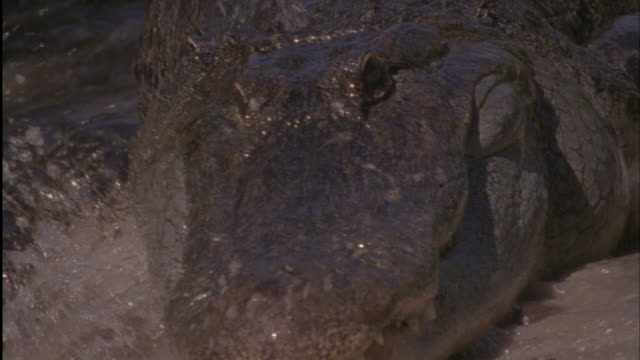 close up zoom-in - an alligator moves forward menacingly / florida, usa - alligator stock videos & royalty-free footage
