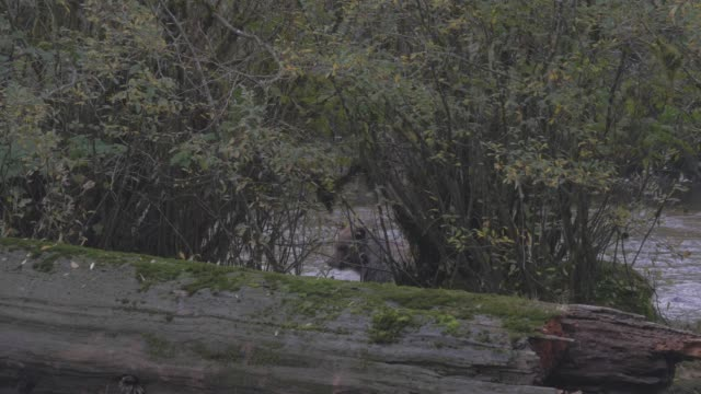 close up/lockdown: black bear walking behind stump and trees by river - swamp stock videos & royalty-free footage