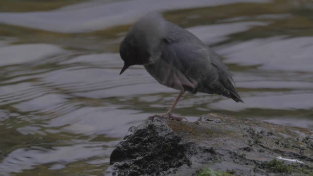 close up/lockdown: small black bird contently perched on rock in flowing stream - wet wet wet stock videos & royalty-free footage