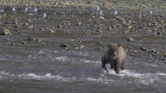 vídeos de stock, filmes e b-roll de close up/pan left: two grizzly bears searching shallow river for food - pata com garras