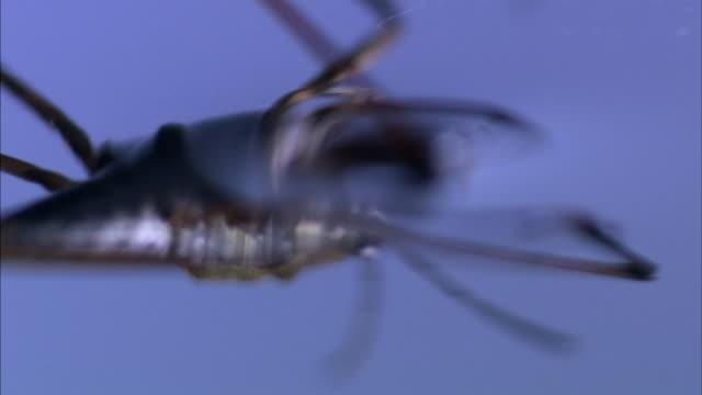 vídeos de stock, filmes e b-roll de close ups of a water strider resting and walking on the surface tension of still water - tensão de superfície