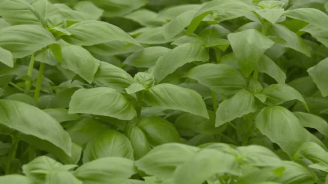 close ups of basil growing inside of the gotham greens facility in brooklyn ny on july 27 2017 shots cu of stationary basil wider pan right over... - gewächshäuser stock-videos und b-roll-filmmaterial