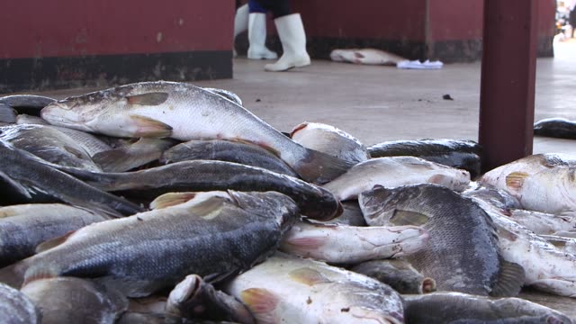 close ups of fish being descaled on a wooden block. fish are thrown from a col storage van onto a pile on the market floor on march 16 2016, kampala... - kampala stock videos & royalty-free footage