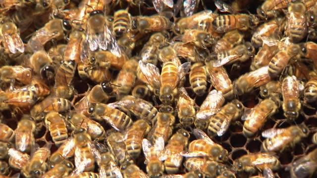 Close ups of honey bees kept in backyard beehives New Zealand