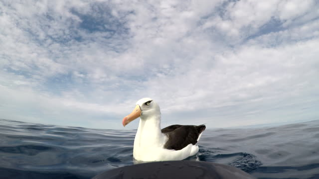 close view of a black browed albatross, or mollymauk, floating on the water, north island, new zealand. - north pacific stock videos & royalty-free footage