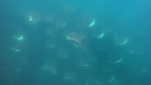 vidéos et rushes de close view of a very large school of mobula rays, mobula munkiana, swimming past the camera, sea of cortes, baja california, mexico. - nageoire dorsale