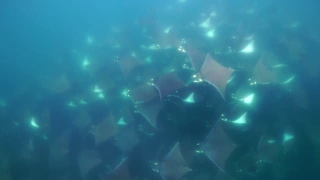 vidéos et rushes de close view of a very large school of mobula rays, mobula munkiana, swimming below the camera, sea of cortes, baja california, mexico. - nageoire dorsale