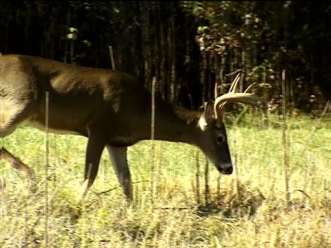 vídeos y material grabado en eventos de stock de close view of a whitetail buck - herbívoro
