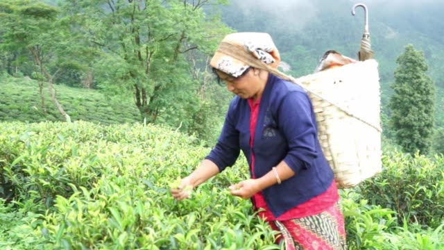 Close view of hands picking tea leaves from bushes Medium view of a woman picking tea leaves in the Makabari Tea Estate in Kurseong West Bengal in...