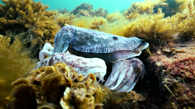 close view of two giant cuttlefish mating.  filmed during the migration and mating season for these animals during the winter months just south of point lowly, south australia. - cuttlefish stock videos & royalty-free footage