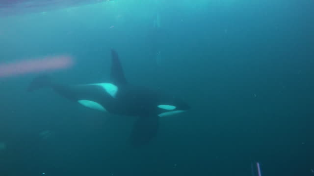 vidéos et rushes de close view of two male orcas swimming past, in the kaldfjord area of northern norway. - épaulard