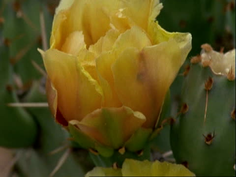 closed prickly pear cactus flower, tilt down to open prickly pear cactus flower, usa - prickly pear cactus stock videos & royalty-free footage
