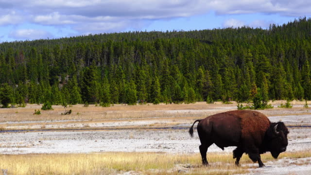 closely to film a moving buffalo in yellow stone park. - american bison stock videos & royalty-free footage