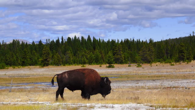 stockvideo's en b-roll-footage met nauw aan film een bewegende buffel in yellow stone park. - yellowstone national park
