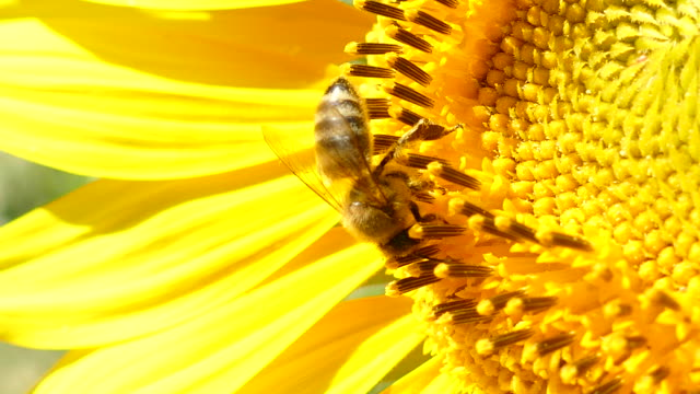 close-up - a bee on a sunflower