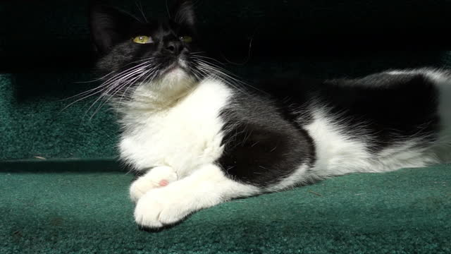 stockvideo's en b-roll-footage met close-up, a black and white house cat lounges on green carpeted stairs, north carolina - achterover leunen