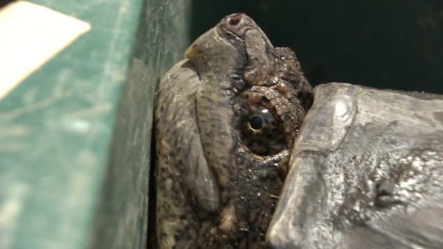 vídeos de stock, filmes e b-roll de closeup; a captured snapping turtle, chiba, japan - cativeiro