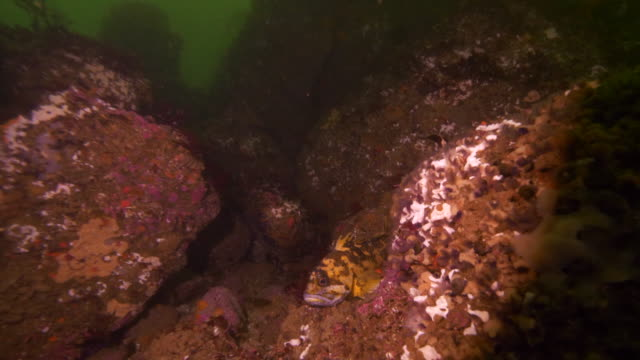 close-up: a fish swimming through the a crevasse of a coral rock - carmel, ca - algae stock videos & royalty-free footage