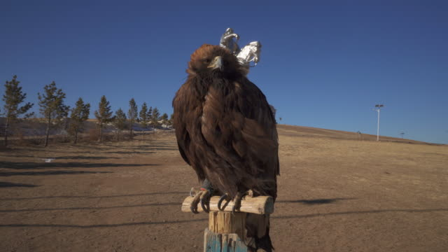 vídeos de stock e filmes b-roll de close-up: a giant hawk perched on a wood post in front of a genghis khan statue  - ulaanbaatar, mongolia - ulan bator