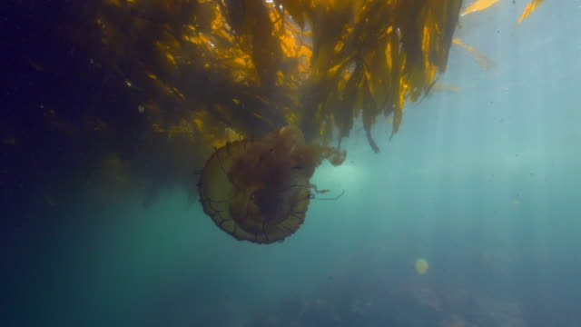 close-up: a jellyfish floating in the current under a kelp paddy as the sun shines through the ocean - monterey, ca - nettle stock videos & royalty-free footage