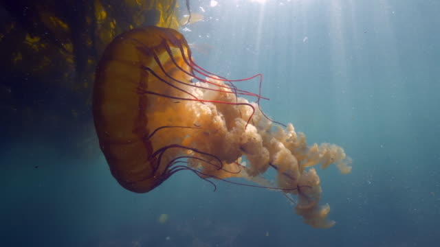 close-up: a jellyfish moving towards a kelp paddy as the sun shines through the ocean - monterey, ca - nettle stock videos & royalty-free footage
