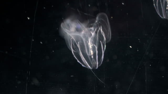 close-up: a kind of lobate ctenophore - invertebrate stock videos & royalty-free footage