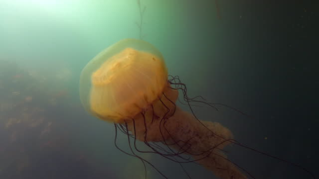 close-up: a large jellyfish floating over a reef in the ocean moving its tentacles up and down - monterey, ca - nettle stock videos & royalty-free footage