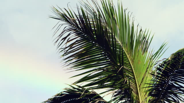 close-up: a large wispy palm frond - oahu, hawaii - frond stock videos & royalty-free footage