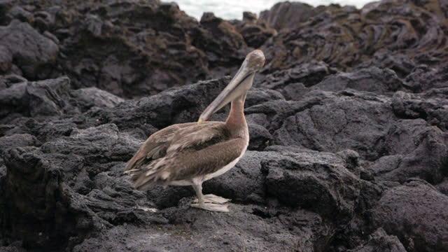 closeup: a pelican preens itself on coastal lava rocks on sunny day - galapagos islands, ecuador - pelican stock videos & royalty-free footage