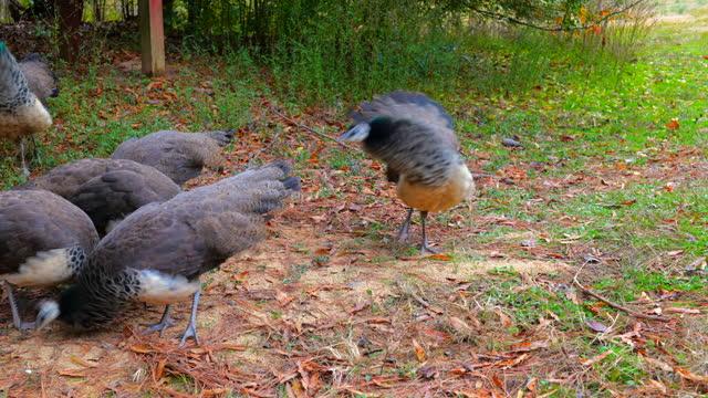 vídeos y material grabado en eventos de stock de close-up, a pride of peachicks feeds at a farm, north carolina, usa - grupo mediano de animales