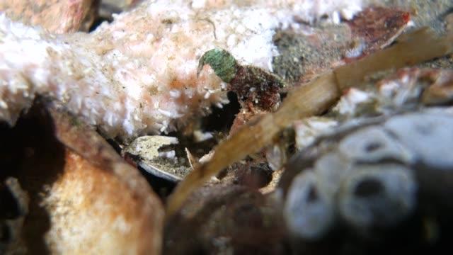 vídeos de stock, filmes e b-roll de close-up: a shrimp searching for food - pacífico norte