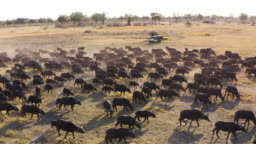 Close-up aerial fly over view of tourists in a 4x4 off-road safari vehicle watching a large herd of Cape buffalo grazing in the Okavango Delta, Botswana