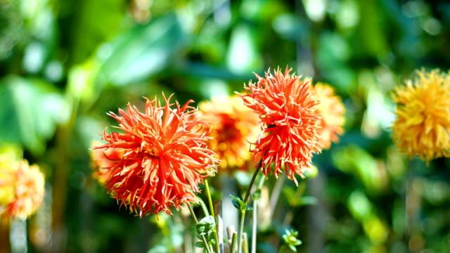 vídeos y material grabado en eventos de stock de primer plano y dolly shot de flor roja con la luz solar - crisantemo